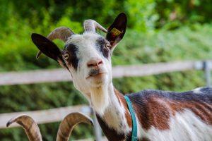 Reasons to buy goat online in this lockdown